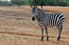 Zebra in het park Stock Foto