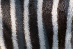 Zebra Hide Royalty Free Stock Images