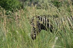 Zebra hiding in a large patch of grass stock photos
