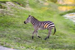Zebra High Speed Running, Chase Royalty Free Stock Photography