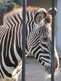 Zebra hinter Gittern lizenzfreie stockfotos