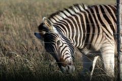 Zebra hinter Zaun stockfoto