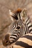 Zebra hinter Zebra Lizenzfreies Stockfoto