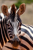 Zebra with his big nose Royalty Free Stock Photography