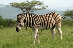 Zebra, Hluhluwe, South Africa. Plains or common zebra, Hluhluwe Imfolozii Reserve, South Africa royalty free stock photo