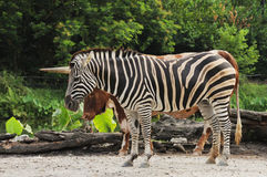 Zebra with horn. Wildlife animal in zoo, zebra with horn Stock Images