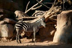 Zebra horse Royalty Free Stock Image