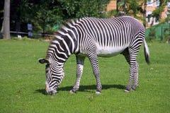 Zebra horse Royalty Free Stock Photo