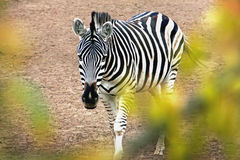 zebra  horse, one in reserve, outdoorsblurred soft focus Royalty Free Stock Photo