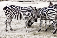 Zebra horse on safari Royalty Free Stock Photo