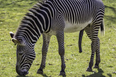 Zebra, hung like a donkey, sexually aroused. Stock Images