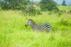 A zebra on the prowl in Tanzania game park. stock photo