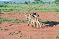 Zebra i jej lisiątko Obrazy Royalty Free