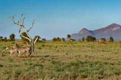 Zebra i jej lisiątko Fotografia Royalty Free