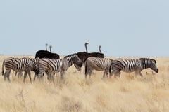 Zebra i struś w afrykańskim krzaku Fotografia Stock