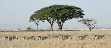 Zebra i Wildebeest Obraz Stock