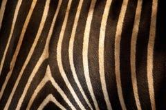 Zebra II Fotografia Royalty Free