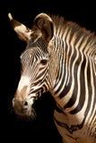 Zebra III. Headshot of a Zebra over black background Royalty Free Stock Photos
