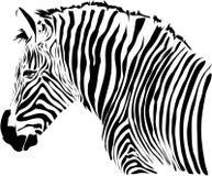 Zebra illustration Stock Photography