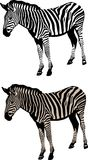 Zebra  illustration. Vector illustration of an zebra suitable for cutter plotter Royalty Free Stock Photography