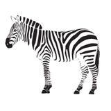 Zebra illustration  Stock Photos