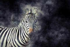 Zebra im Rauche stockfoto