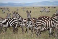 Zebra im serengeti Stockbild