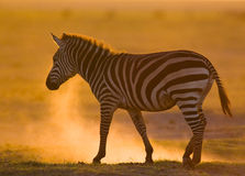 Zebra im Staub gegen die untergehende Sonne kenia tanzania Chiang Mai serengeti Maasai Mara Stockbilder