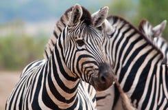 Zebra im Vordergrund Lizenzfreies Stockfoto