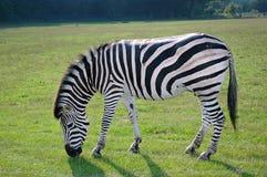 Zebra im wilden Africas mit Gras bedeckend, grünen Sie Natur stockfoto