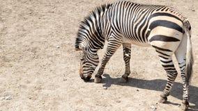 Zebra im Zoo Stockbilder