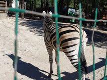 Zebra im Zoo lizenzfreie stockbilder