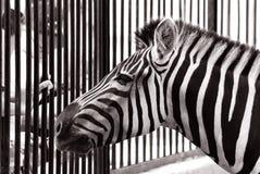 Zebra im Zoo Stockfoto