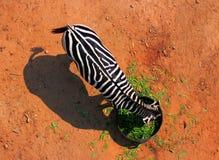 Zebra im Zoo stockbild