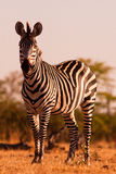 Zebra. Image of a zebra in the African wilderness Royalty Free Stock Photo