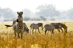Zebra. Image of a zebra herd in the African wilderness Royalty Free Stock Images