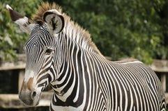 Zebra imperial Imagens de Stock Royalty Free