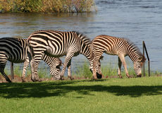 Free Zebra In Africa Royalty Free Stock Photos - 29743618