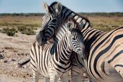 Zebra In Bush, Namibia Africa Wildlife Stock Image