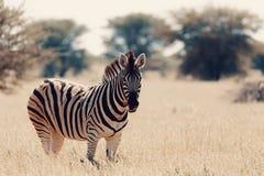 Zebra In Bush, Namibia Africa Wildlife Royalty Free Stock Images