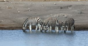 Zebra In Etosha Namibia Wildlife Safari Stock Photography