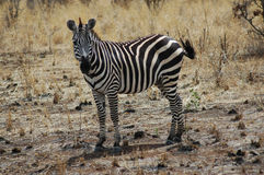 Zebra In Tanzania Stock Photography