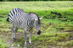 Free Zebra In The Field At The Zoo Royalty Free Stock Photos - 126758138