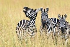 Free Zebra In The Masai Mara Royalty Free Stock Photo - 60121805