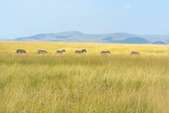 Zebra In The Masai Mara Royalty Free Stock Image