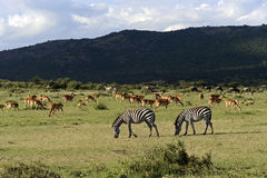 Zebra In The Masai Mara Stock Photos