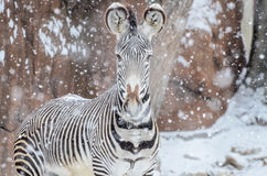 Free Zebra In The Snow2 Stock Image - 29780631