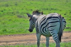 Zebra with a injured ear. Zebra in a reserve in Africa with a injured ear Stock Image