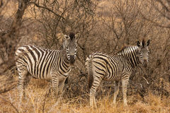 Zebra inSouth Africa Stock Photography
