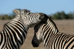 Zebra Interaction Royalty Free Stock Images